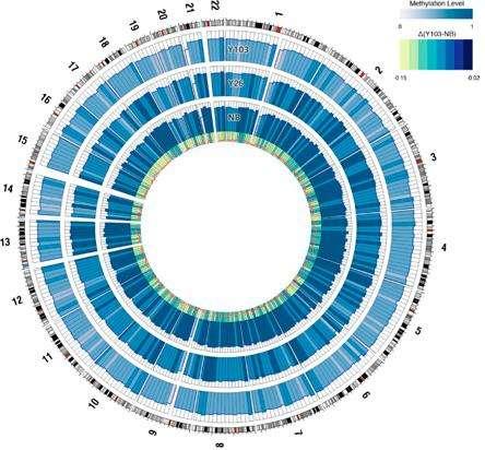 Cette figure, tirée de l'étude, représente visuellement les différences de méthylation au niveau des épigénomes de nouveau-nés (NB, cercle bleu intérieur), le patient de 26 ans (Y26, cercle bleu intermédiaire) et le centenaire (Y103, cercle bleu extérieur). L'intensité du bleu représente la densité de méthylation. On constate nettement que le génome des bébés est bien plus régulé que chez le sujet de 103 ans. © Heyn et al., Pnas