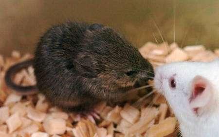 Cette jolie petite souris brune est née du clonage de noyaux cellulaires provenant du cerveau d'un mâle mort en 1992. © National Academy of Sciences, PNAS (2008)