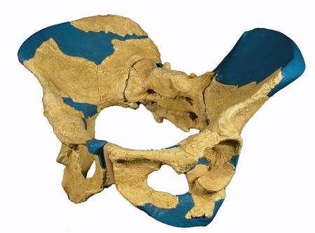 La reconstitution du pelvis de Gona. Crédit : Scott W. Simpson, Western Reserve University