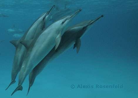 Mer Rouge - Region de Marsa Alam - Dauphin a long bec (Stenella longirostris) a Shaab Samaday. Ces dauphins peuvent mesurer 2,20 m et peser 75 kg, ils sont caracterisés par leur long rostre et leur corps fin. Ils se nourrissent de petits poissons et de calmars. On les trouve dans toutes les mers tropicales et subtropicales, en troupeaux de 25 à plusieurs centaines d'individus. © Alexis Rosenfeld - Tous droits réservés