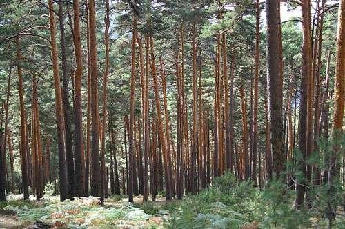 Pinus sylvestris (pin sylvestre). © Clément Godbarge, GNU Free Documentation License, Version 1.2