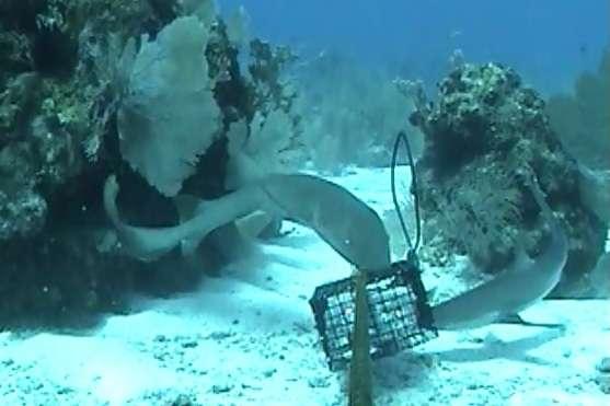 Deux requins, attirés devant la caméra par des appâts, dans la réserve de Glover's reef. © Bond et al. 2012, Plos One