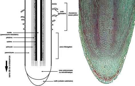À gauche : coupe longitudinale de racine. À droite : racine de pois, coupe longitudinale. © DR