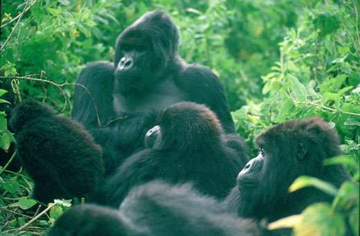 Virungas national Park Nat.parks, Gorillas Silverback Titus + group of mountain gorillas 1994 © UNESCO/Ian Redmond
