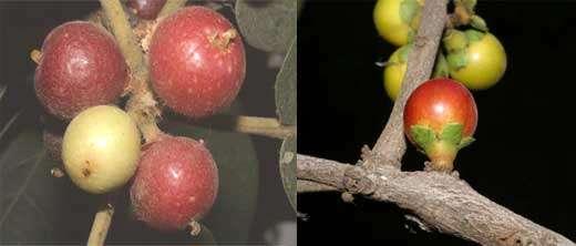Ficus sp à gauche et Diospyros ferrea à droite - Le fruit, le deuxième organe de mobilité des plantes (vecteur = animaux) © Photo Philippe Birnbaum - Tous droits de reproduction réservés