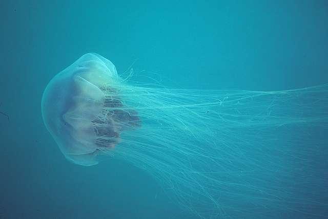 Le roi des océans emprunte-t-il son nom au roi des animaux? La méduse à crinière de lion dépasse en longueur la fameuse baleine bleue, grâce à ses tentacules filiformes. © Derek Keats, Flickr