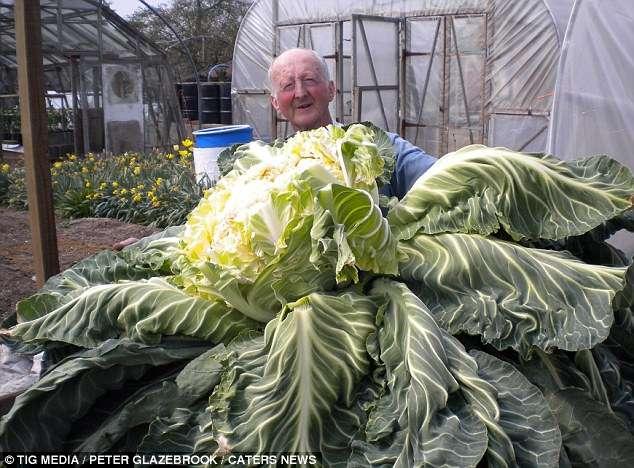 Peter Glazebrook détient depuis le 21 avril 2014 le record du monde du plus gros et lourd chou-fleur. © Tig Media, Peter Glazebrock, Caters News