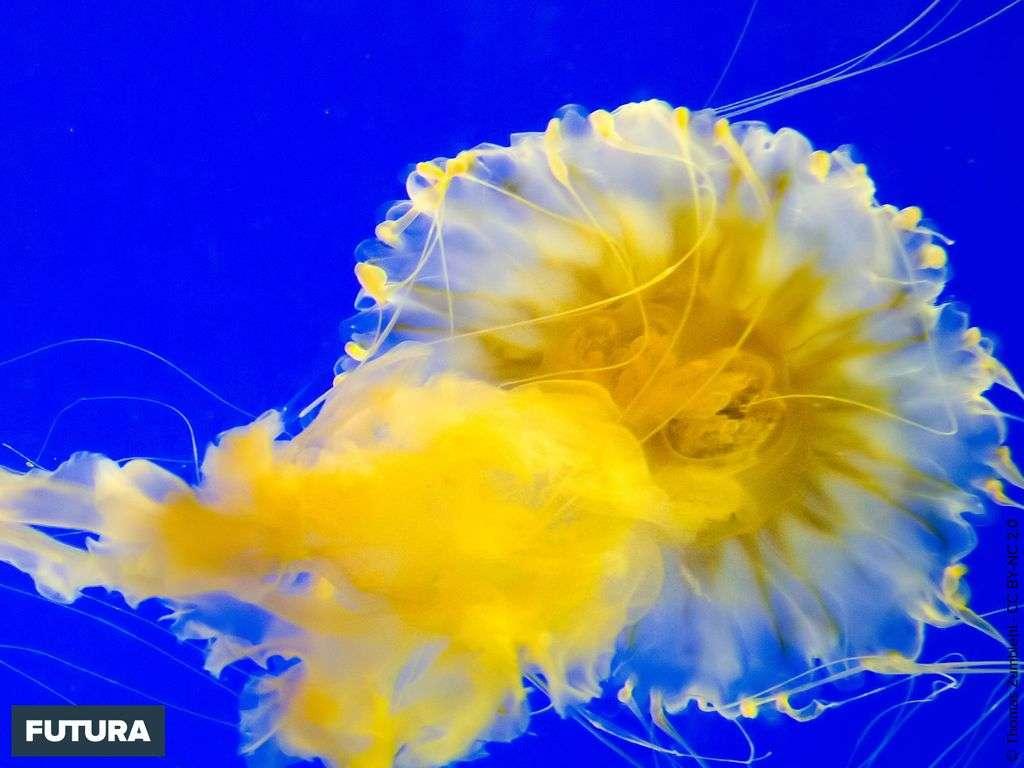Méduse aquarium de La Rochelle