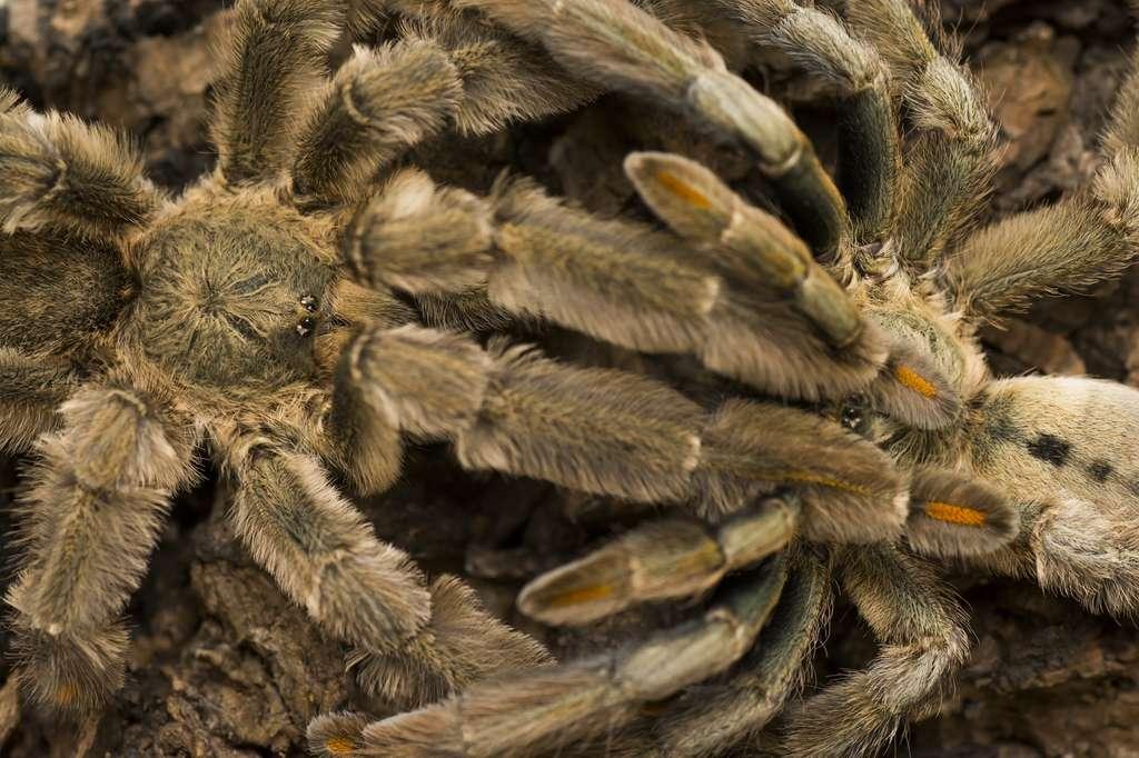 Le venin de la mygale à chevrons contient de la psalmotoxine. © wawritto, Fotolia