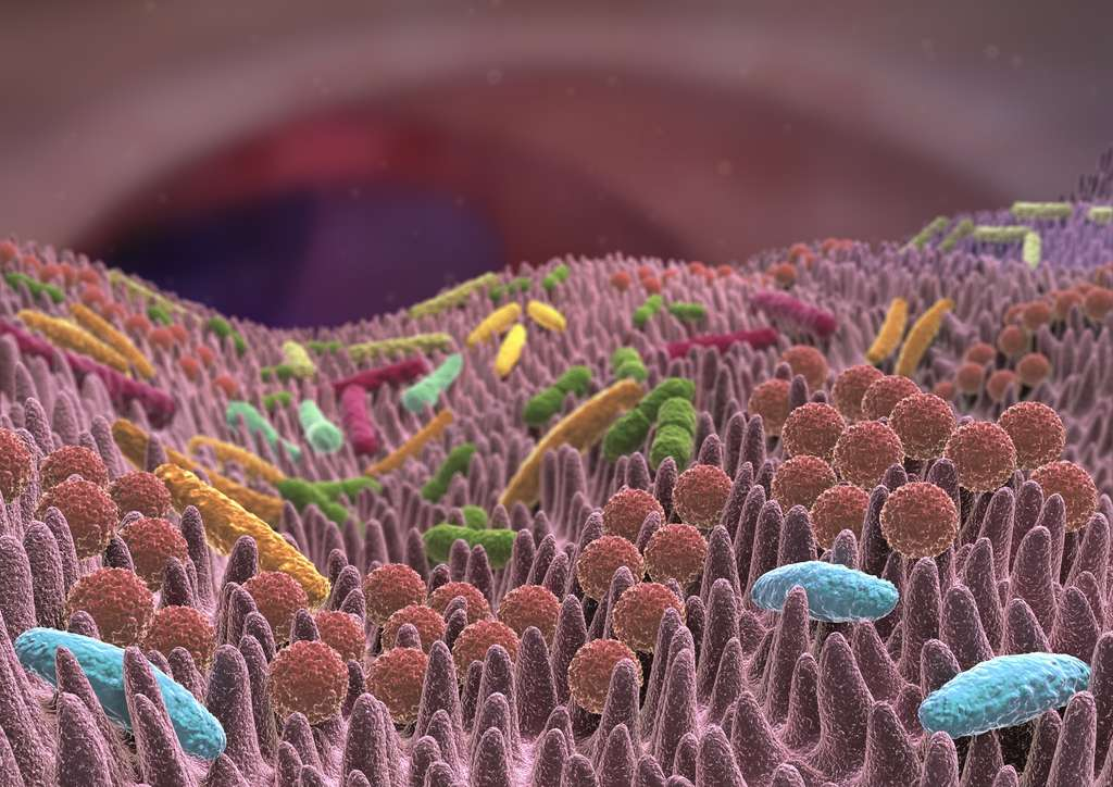Le microbiote intestinal fait habituellement concurrence au Clostridium difficile. © Alex, Fotolia