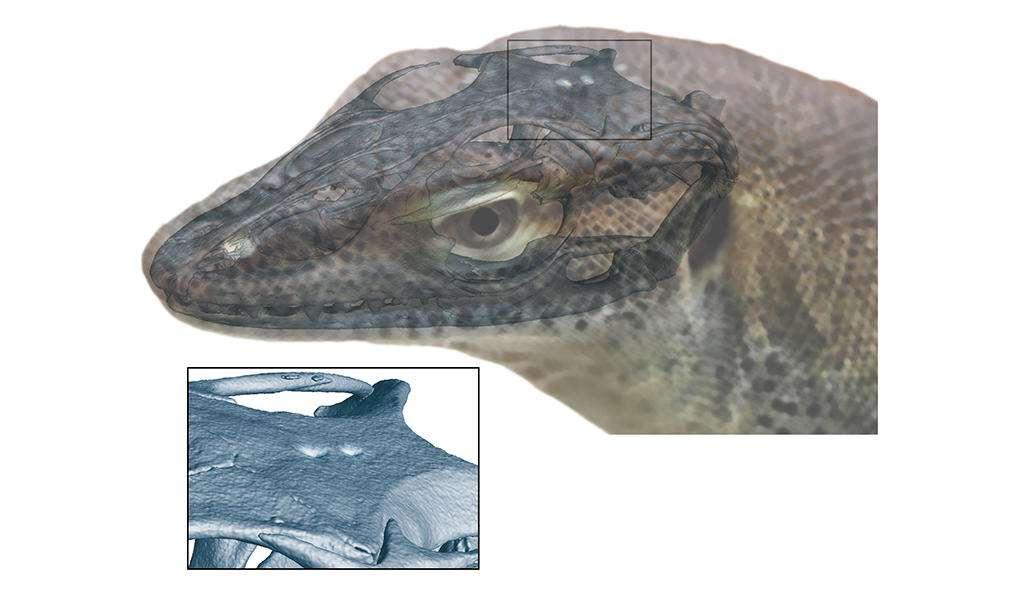 Modélisation de la tête de Saniwa ensidens, avec le troisième et le quatrième œil sur la tête. © Senckenberg, Andreas Lachmann