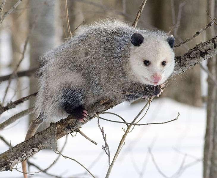 Opossum de Virginie. © Cody Pape, Wikimedia Commons, cc by sa 2.5