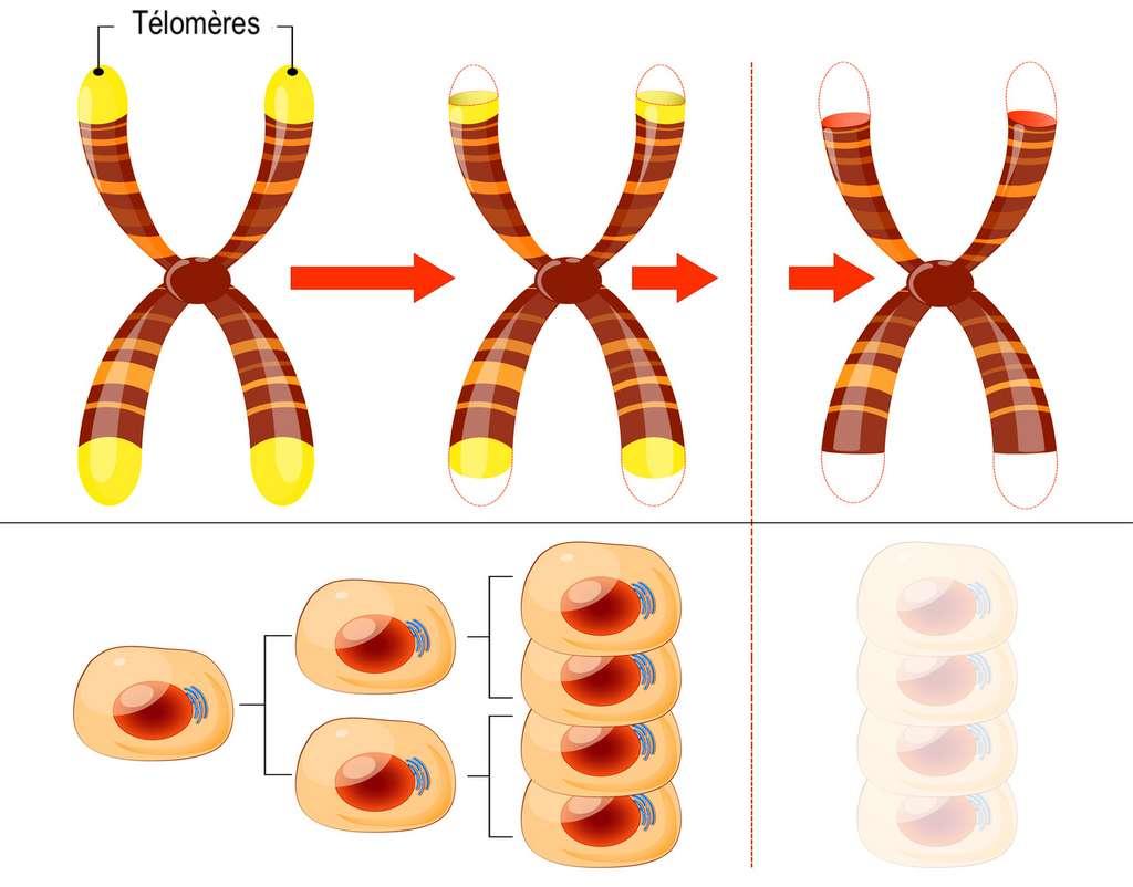 Le raccourcissement progressif ces télomères aboutit à l'incapacité de la cellule à se reproduire. © designua, Fotolia - adaptation C.D