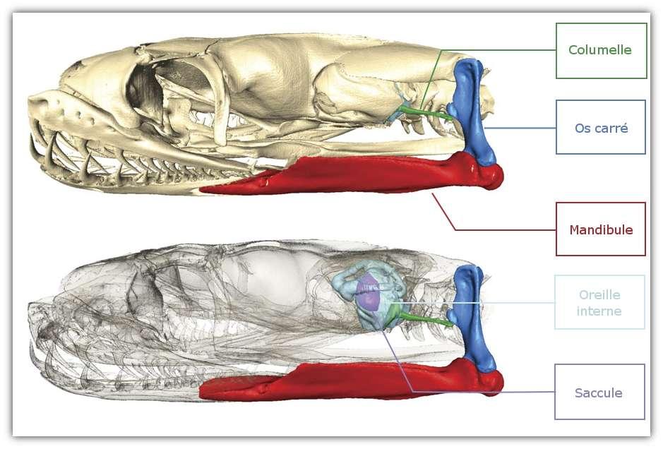 Dans la tête du python royal, les vibrations du sol sont ressenties au niveau de la mandibule et de l'os carré. Les vibrations sont transmises à l'oreille interne grâce à la columelle. © Christensen et al. 2011, Journal of Experimental Biology - adaptation Futura-Sciences