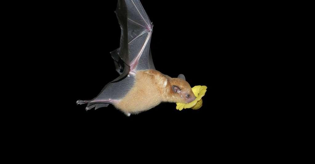Chauve-souris butinant une fleur. © Hans Hillewaert, CC by-sa 4.0