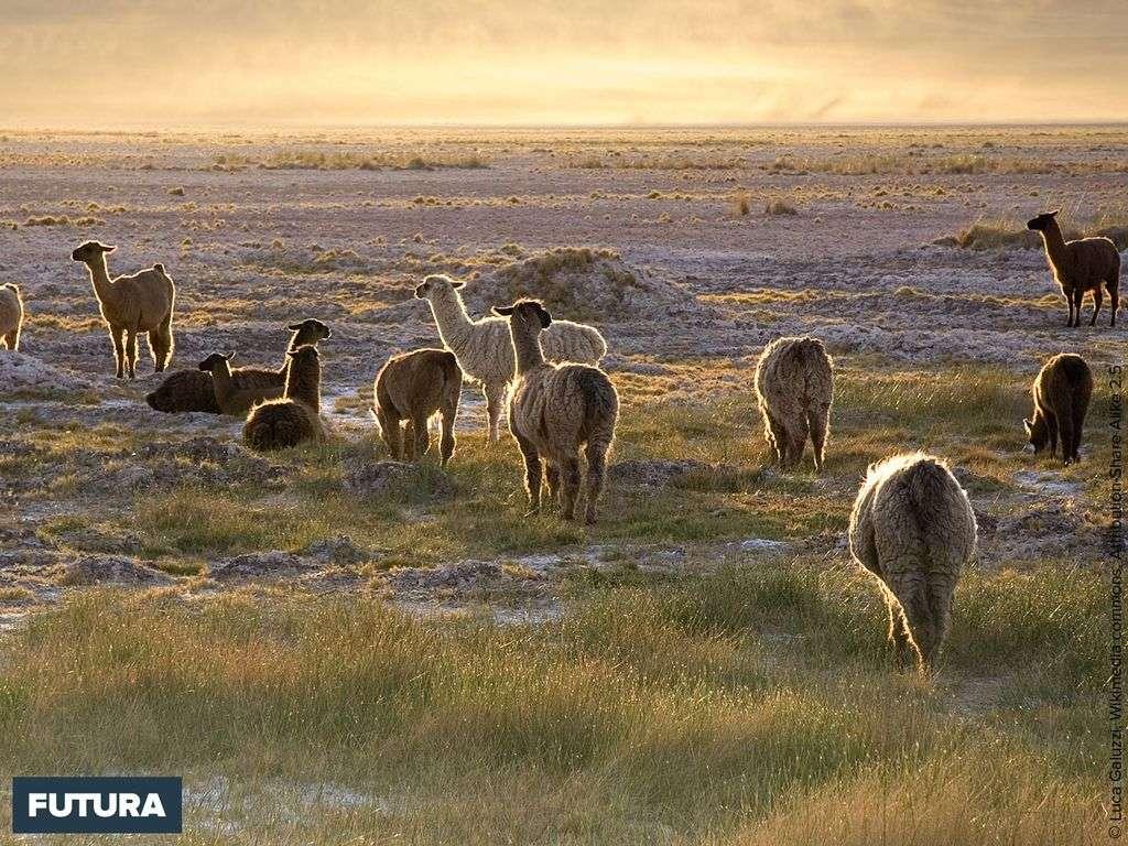 Lamas (Lama glama) au coucher du soleil, San Pedro de Atacama (nord du Chili), altitude 2 400m.