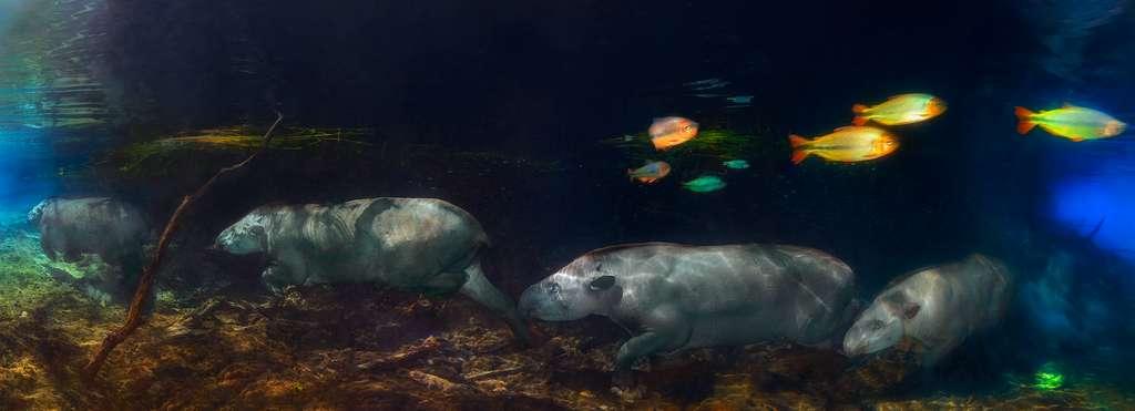 Pour réaliser cet incroyable panorama sous-marin, Marcio Cabral a combiné quatre photos séquentielles prises au même endroit. De quoi rendre le mouvement du tapir sous l'eau. Le véritable défi a été de corriger les distorsions et les erreurs de parallaxe qui se produisent lorsqu'un trépied n'est pas utilisé pour saisir la séquence. © Marcio Cabral, Tous droits réservés, Reproduction interdite