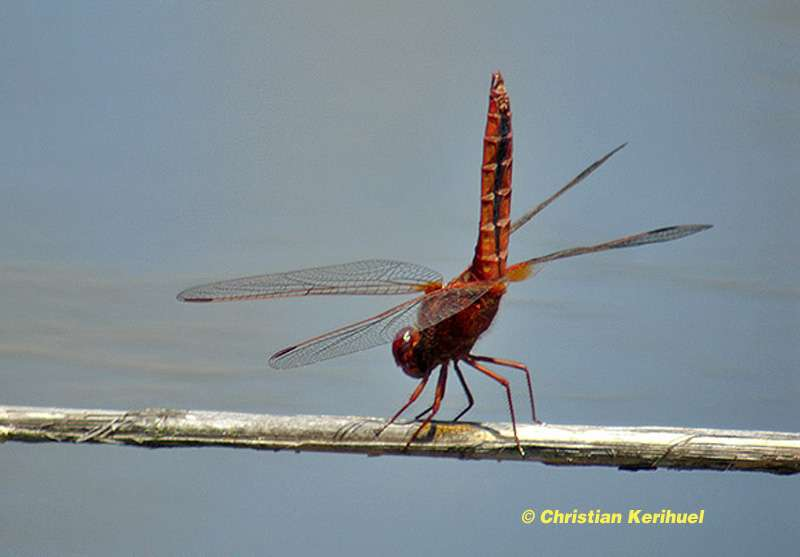 La libellule écarlate, ou Crocothemis erythraea