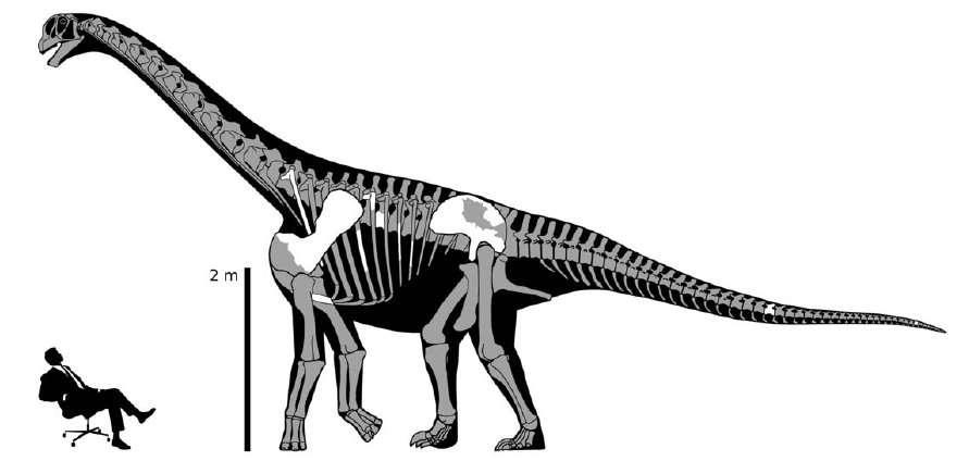 Reconstitution du squelette. Les parties en blanc sont celles qui ont été mises au jour. Les parties grisées sont extrapolées. © Mike Taylor