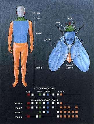 La code homéotique préside à la structuration des organismes vertébrés… et invertébrés © 1994 Lydia Kibiuk