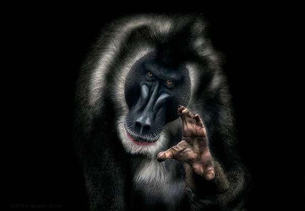 Ce mandrill est victime, avec d'autres primates, de la disparition de son habitat. © Pedro Jarque Krebs