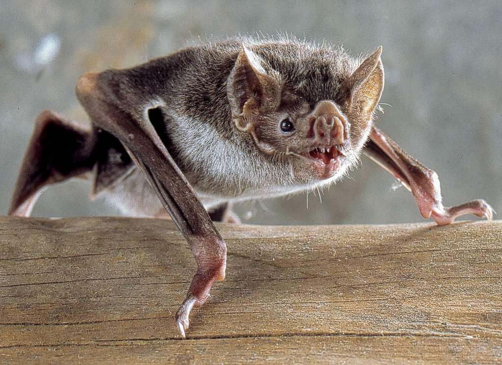 Une chauve-souris qui a le goût du sang