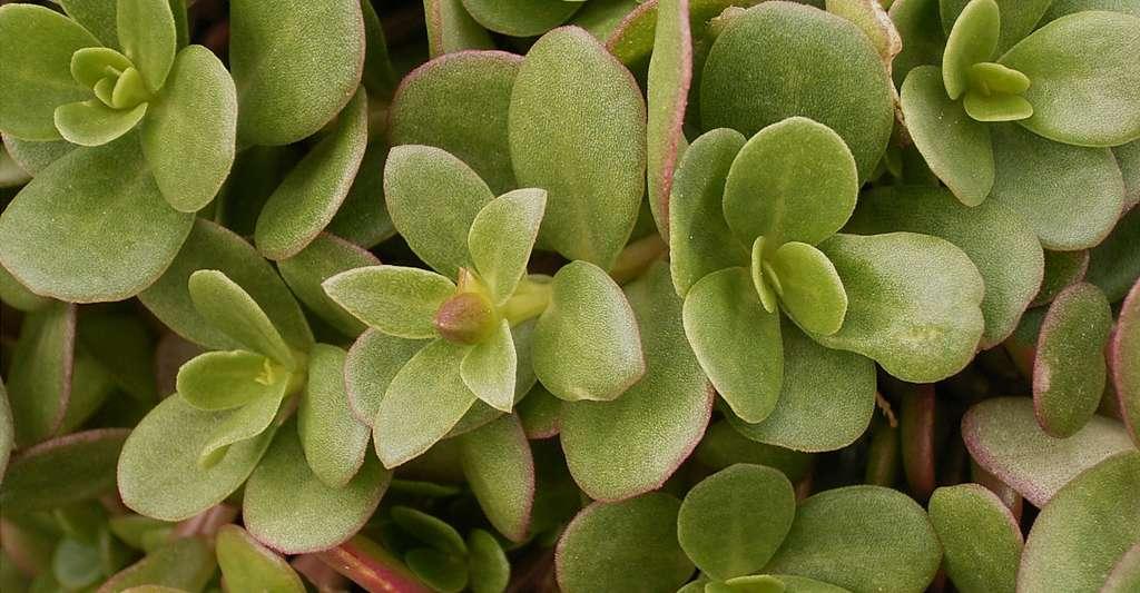 Le pourpier (Portulaca oleracea) est une salade. Cette plante comestible peut être sauvage. © Frank Vincentz, CC by-sa 3.0