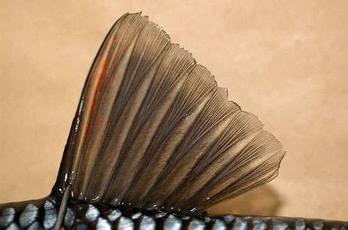 Nageoire dorsale d'un chevesne. © Tino Strauss, CC by-sa 3.0