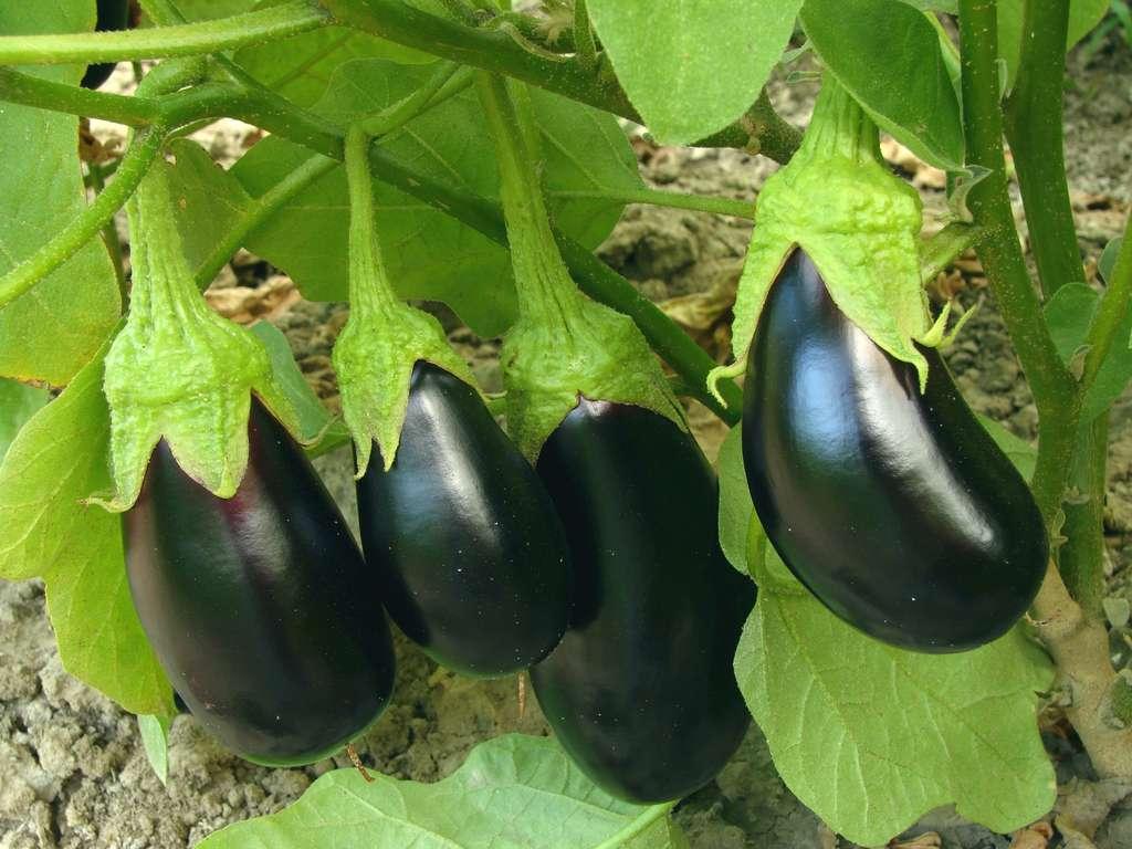 Dès qu'elle ne grossit plus, l'aubergine est prête à être récoltée. Si vous attendez trop, sa peau brunira et des petites graines se formeront. © Fotolia
