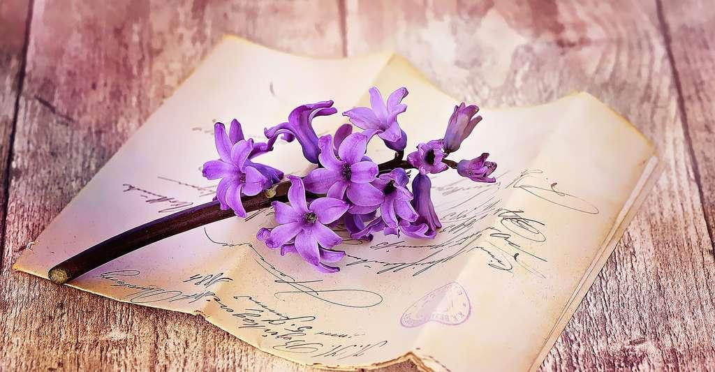 Jacinthe mauve délicatement parfumée. © Pezibear, Pixabay, DP