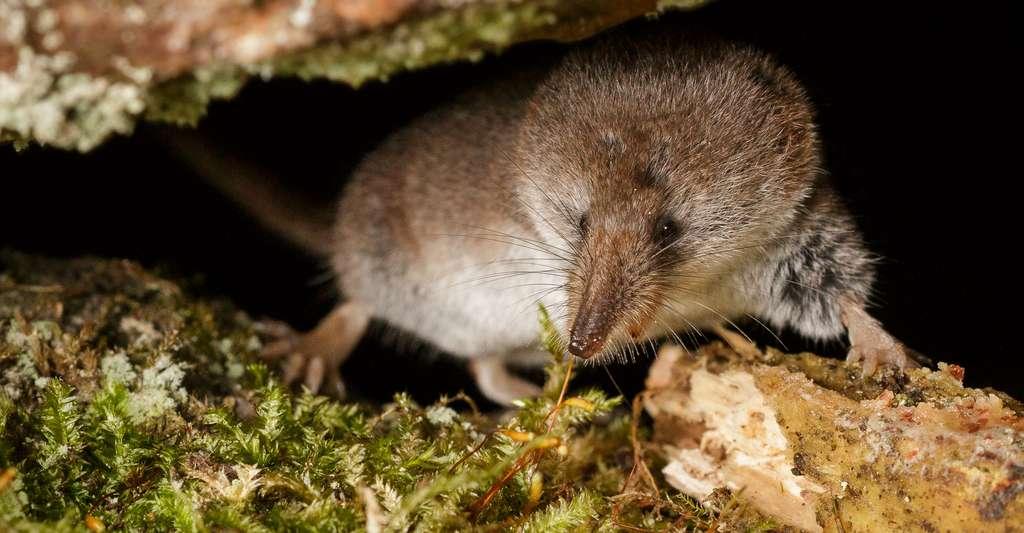 La musaraigne est un petit mammifère insectivore. © Hanna Knutsson, Flickr, CC by-nc 2.0