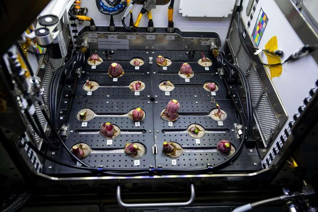 Les radis en train de pousser dans l'Advanced Plant Habitat de l'ISS. © Nasa