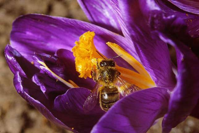 Apis mellifera butinant sur Crocus vernus. © Jean-Pierre Hamon GNU Free Documentation License, Version 1.2