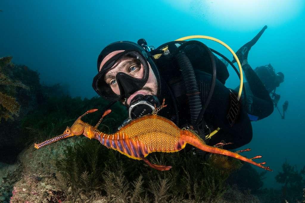 Le dragon de mer commun, un cousin de l'hippocampe