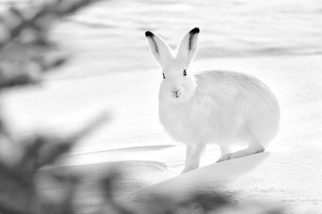 Le lièvre arctique et son espièglerie