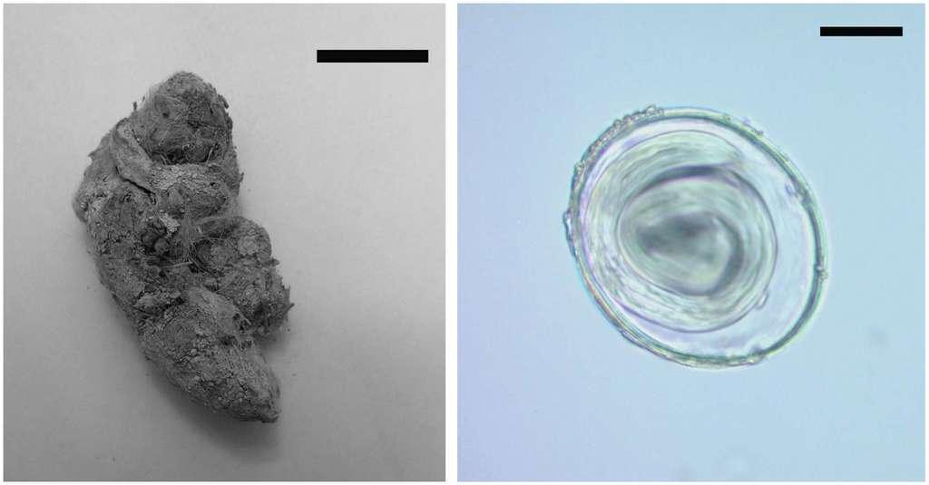 À gauche, le coprolithe de puma (échelle 20 mm) et à droite, un œuf de Toxascaris leonina grossi 400 fois (échelle 20 µm). © CONICET