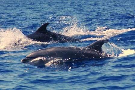 Lorsqu'ils se rencontrent, les groupes de dauphins émettent une signature vocale pour savoir à qui ils ont affaire. © Chris Vees (priorité maison), Flickr, cc by nc nd 2.0