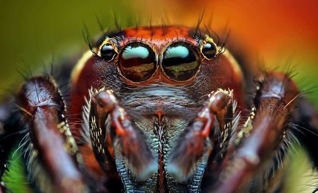 Mâle adulte Thiodina puerpera, araignée sauteuse. Retrouvez-les toutes en cliquant sur l'image. © Thomas Shahan, Flickr CC by-nc-sa 2.0