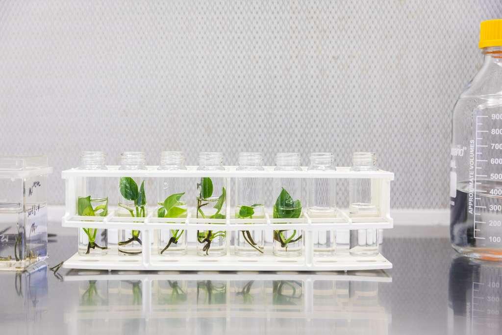 Le lierre du diable génétiquement modifié absorbe la quasi-totalité du benzène et du chloroforme présent dans l'air. © Mark Stone/University of Washington