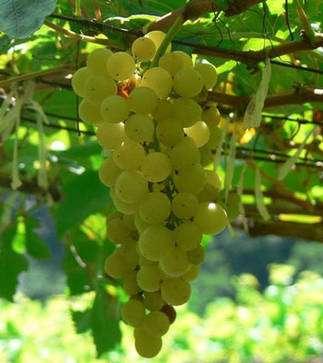 Grappes de chenin blanc, vin de Touraine. © Chrisada Wikipedia