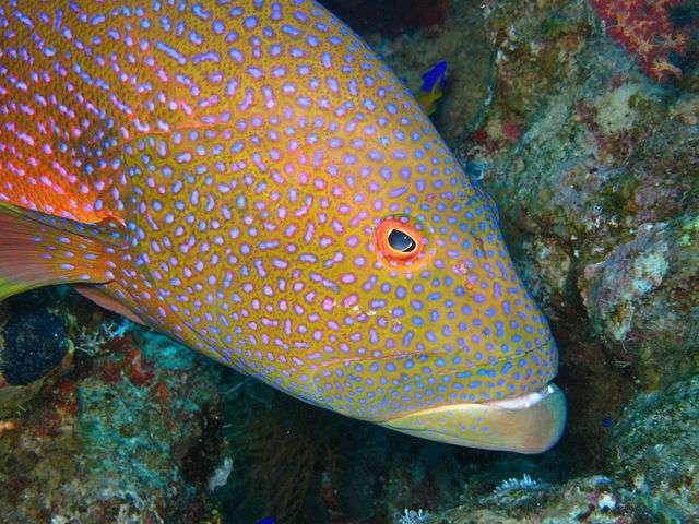 En plongeant près de Sharm-el-Sheikh, il est possible de rencontrer le Cephalopholis miniata ou mérou minium. Ce poisson coloré peut mesurer jusqu'à 50 centimètres. © Matthieu Sontag, Wikimedia Commons, CC by-sa 3.0