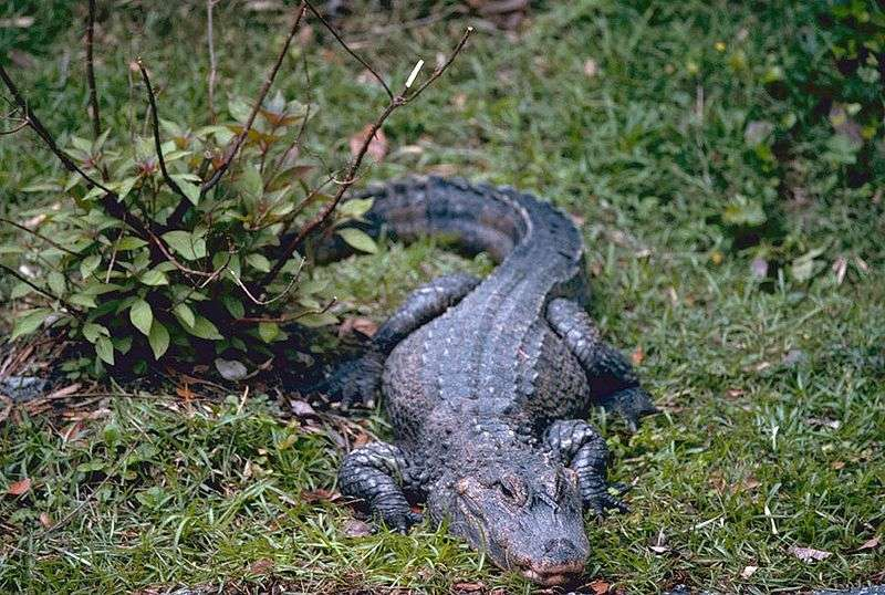 Alligator de Chine (Alligator sinensis). © Stolz, Gary M. from US Fish & Wildlife Service, domaine public