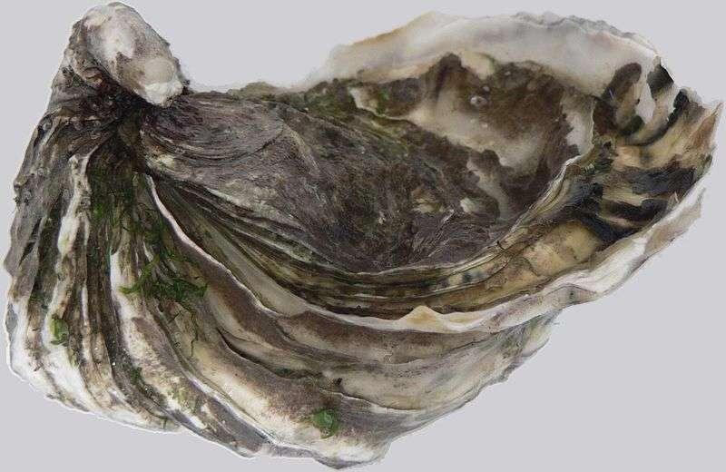 L'huître du Pacifique (Crassostrea gigas), appelée également huître creuse, est originaire du nord-ouest du Pacifique. Aujourd'hui introduite dans un grand nombre de régions du monde, elle est pour nous la plus commune des huîtres, que l'on trouve par exemple à l'île d'Oléron. © Kevmin, Wikipédia, GNU 1.2