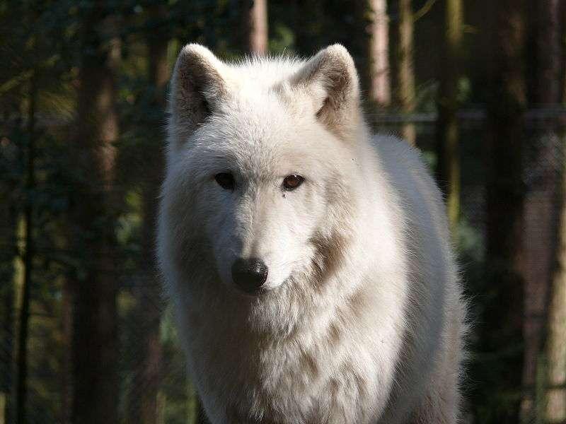 Loup gris arctique. © Gunnar Ries, CCA-S A 2.5. Generic license