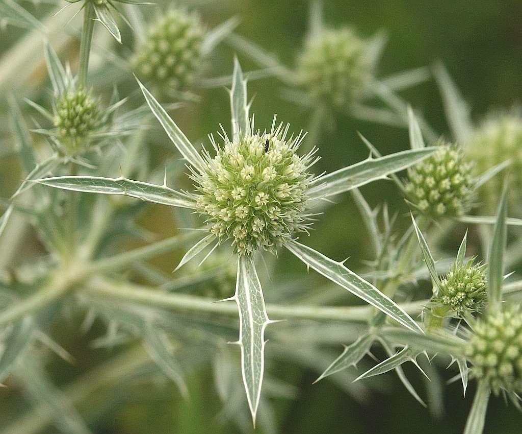 Eryngium campestre. © Bernd Haynold, Wikimedia Commons, CC by-sa 2.5
