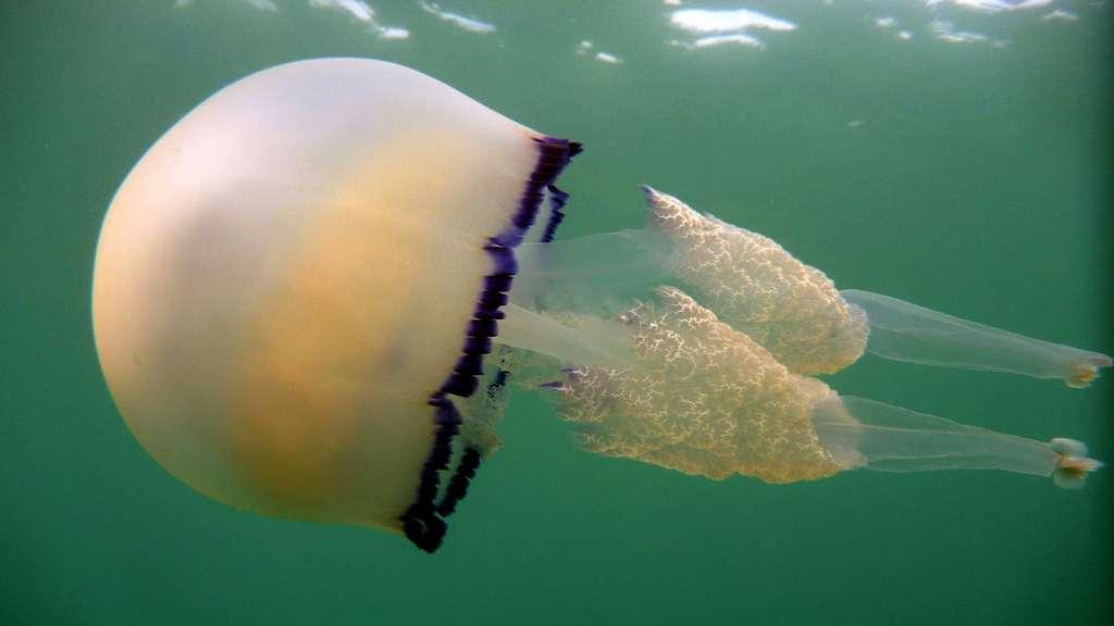 Une méduse en Méditerranée et en mer Noire (Rhizostoma pulmo)