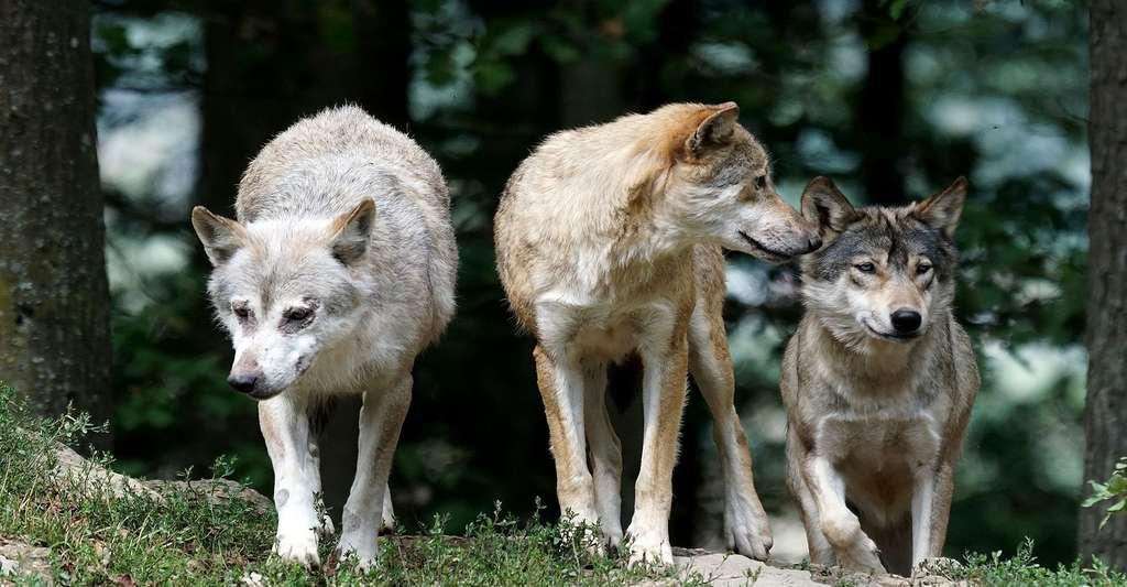 Famille de loups. © Pixel Mixer, Pixabay, DP