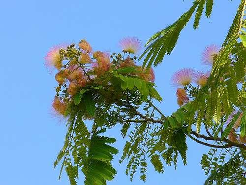 L'arbre à soie, aussi appelé mimosa de Constantinople. © pizzodisevo, Flickr CC by sa 2.0
