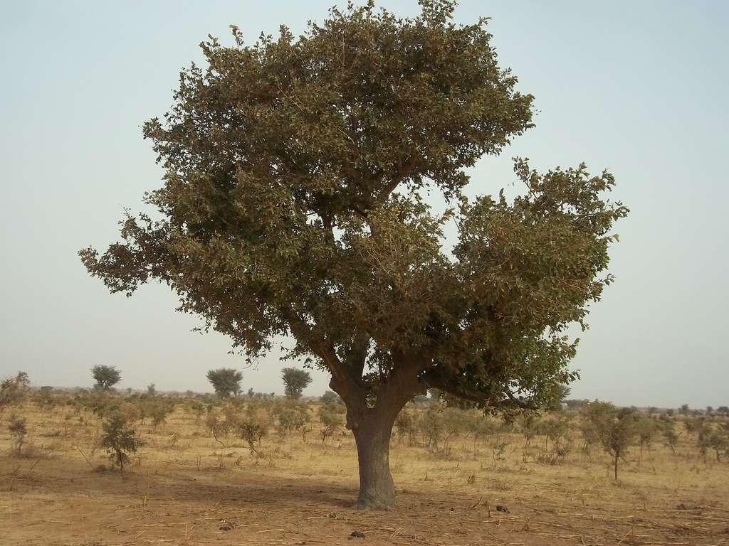 L'arbre à karité (Vitellaria paradoxa) donne des amandes à la base du beurre de karité. © CGIAR Climate, Flickr
