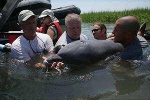 Après avoir été étudié et marqué, ce dauphin va être relâché. © NOAA